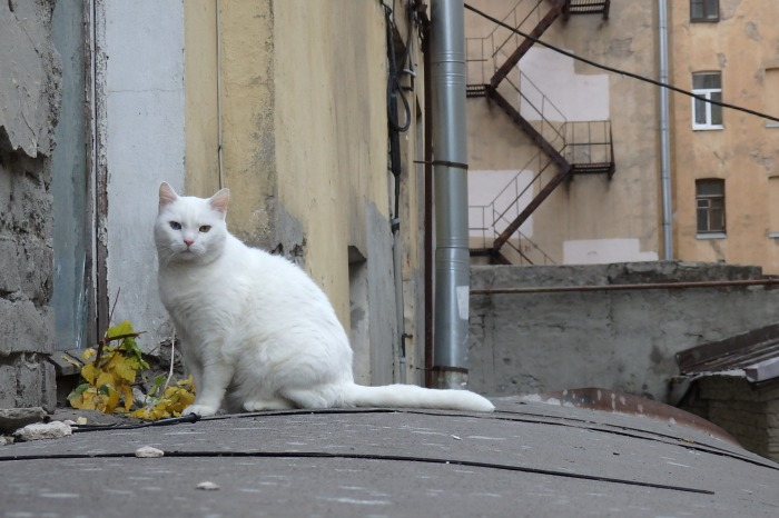 Cat in a courtyard off Suvorov Prospect, Central Petrograd