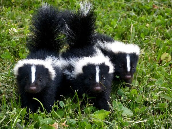 Skunks. Photo courtesy of National Geographic